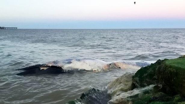 """Xác cá voi khổng lồ liên tiếp """"cập bờ"""" biển Anh - 2"""