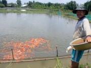 """Thị trường - Tiêu dùng - Lão nông canh con nước """"độc"""" nuôi cá cảnh, thu cả trăm triệu/tháng"""
