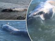 """Thế giới - Xác cá voi khổng lồ liên tiếp """"cập bờ"""" biển Anh"""