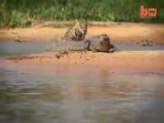 Thế giới - Video: Báo đốm sát thủ hạ gục cá sấu bằng đòn chí mạng