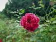 Lạc vào khu vườn hoa hồng cổ đẹp mê ở Hòa Bình