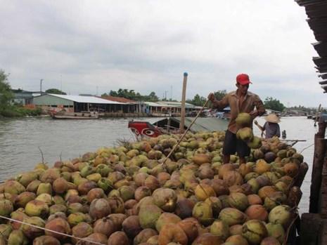 Xứ dừa Bến Tre phải… nhập khẩu dừa - 1