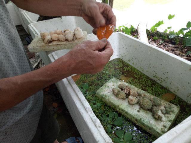 Chỉ nuôi đặc sản ốc bươu đen mà kiếm 600 triệu đồng mỗi năm - 3