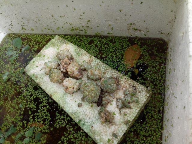 Chỉ nuôi đặc sản ốc bươu đen mà kiếm 600 triệu đồng mỗi năm - 4