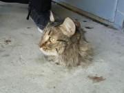 Mèo bị kẹt trong sàn xi măng, quá béo nên không thể chui ra