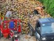 Xứ dừa Bến Tre phải… nhập khẩu dừa