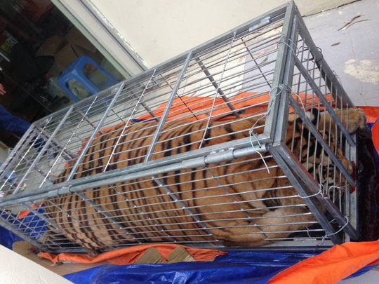 Mua hổ sống nặng 200 kg từ Nghệ An ra Hà Nội nấu cao - 1
