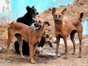 Phi thường - kỳ quặc - Đàn chó ăn xác chủ vì bị bỏ đói 5 tháng ở Tây Ban Nha