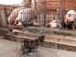 Hậu giải cứu lợn: Không phải cứ chăn nuôi lợn giỏi là thắng