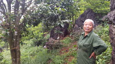 Trồng cây tiền tỷ: Chỉ 1 cây rau sắng rừng thu 3 triệu đồng ngon ơ - 1