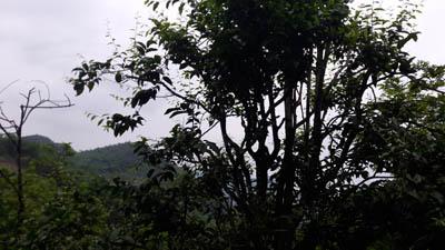 Trồng cây tiền tỷ: Chỉ 1 cây rau sắng rừng thu 3 triệu đồng ngon ơ - 2