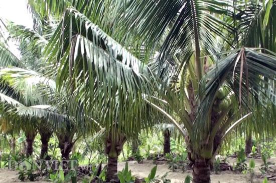 """""""Đút túi"""" trăm triệu đồng/năm từ 70 cây dừa xiêm - 1"""