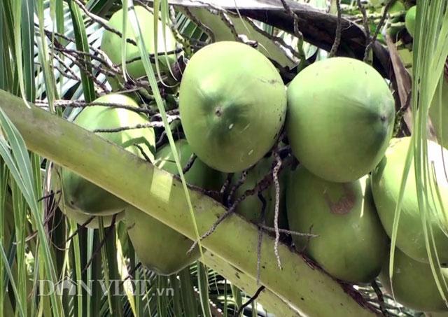 """""""Đút túi"""" trăm triệu đồng/năm từ 70 cây dừa xiêm - 2"""