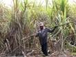 Khối lượng đường tồn kho khủng khiếp lên đến 750.000 tấn