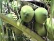 """""""Đút túi"""" trăm triệu đồng/năm từ 70 cây dừa xiêm"""