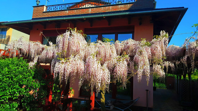 Ngắm khu vườn đẹp như thiên đường của mẹ Việt ở Séc - 4