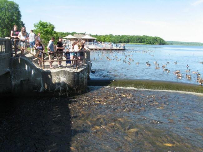 Kỳ lạ nơi vịt đi trên lưng hàng nghìn con cá - 2