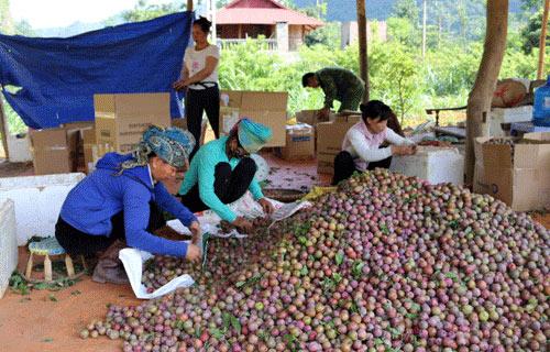 Sơn La: Nông dân vui vì... mận hậu mất mùa, nhưng được giá - 1