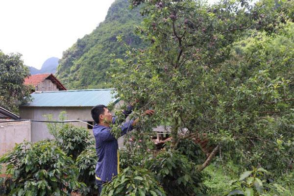 Sơn La: Nông dân vui vì... mận hậu mất mùa, nhưng được giá - 2