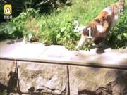 Bất ngờ phát hiện mèo hồ ly tinh có 3 đuôi