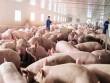 May mà chỉ giải cứu lợn!