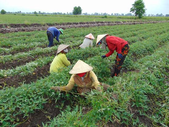Trồng cây tiền tỷ: Nghề trồng kiệu thu lãi 200-300 triệu đồng/ha - 2