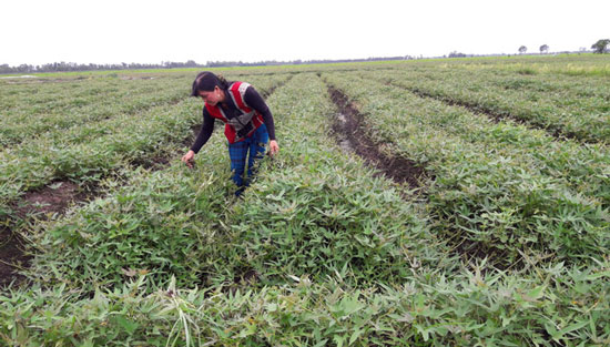 Trồng cây tiền tỷ: Nghề trồng kiệu thu lãi 200-300 triệu đồng/ha - 3
