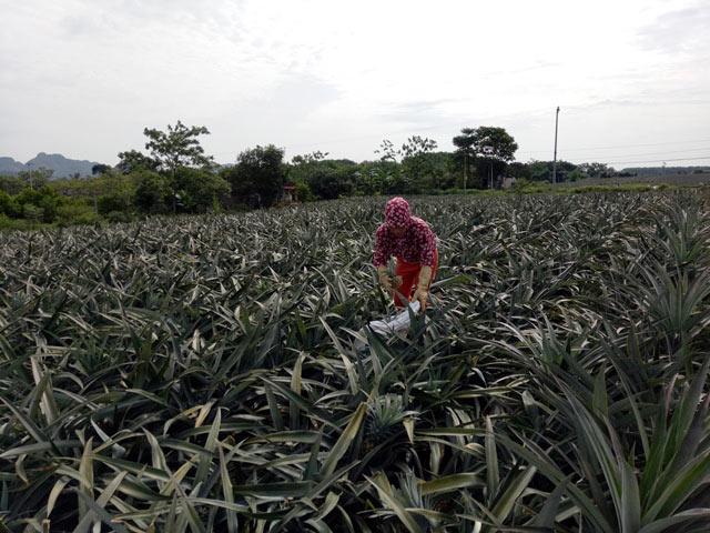 Thanh Hóa: Thương lái Trung Quốc ồ ạt mua dứa xanh bất thường - 1