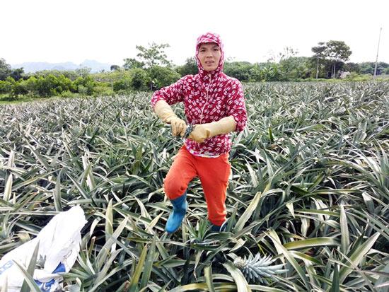 Thanh Hóa: Thương lái Trung Quốc ồ ạt mua dứa xanh bất thường - 2