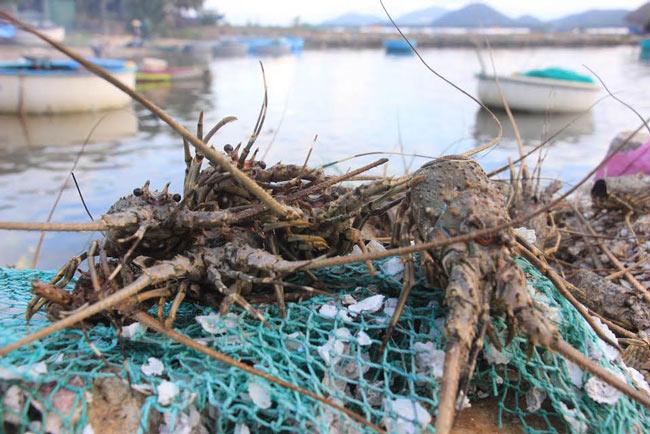 Phú Yên: Tôm hùm chết dọc bãi biển, thiệt hại trên trăm tỷ đồng - 1