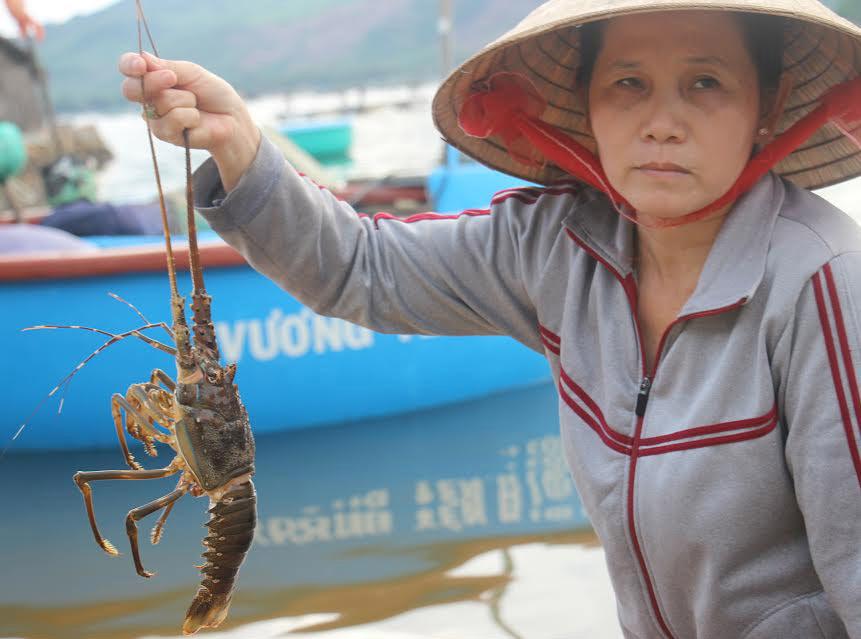 Phú Yên: Tôm hùm chết dọc bãi biển, thiệt hại trên trăm tỷ đồng - 2