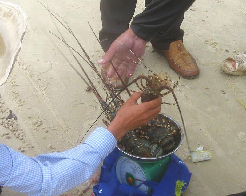 Phú Yên: Tôm hùm chết dọc bãi biển, thiệt hại trên trăm tỷ đồng - 3