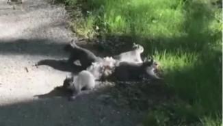 """Video: Kỳ lạ 4 con sóc tự """"buộc"""" đuôi vào nhau không rời"""