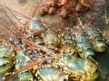 Hơn 520.000 con tôm hùm bị chết ở Phú Yên: Nguyên nhân gì?