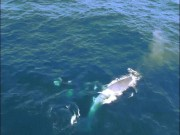 Thế giới - Video: Đàn cá voi sát thủ quyết chiến cá voi xanh khổng lồ