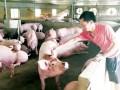 Hậu giải cứu giá lợn: Người chăn nuôi vẫn lỗ
