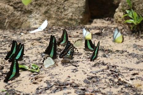 """""""Thiên đường bướm"""" đẹp mê hồn ở Đắk Lắk - 4"""