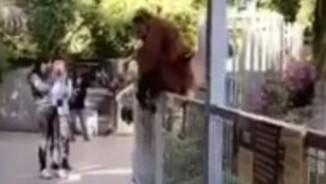 Đười ươi bế con thoát khỏi chuồng trong vườn thú