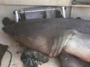 Thế giới - Cá mập trắng lớn tự dưng bay vào thuyền ngư dân Úc