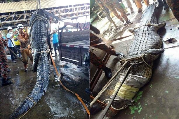 11 tiếng vật lộn để tóm cá sấu khổng lồ 1 tấn ở Malaysia - 2