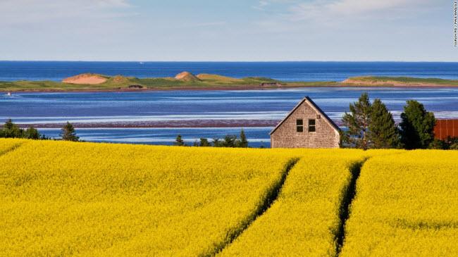 Cảnh đồng hoa rực rỡ nằm sát bờ biển trên đảo Prince Edward ở Canada.