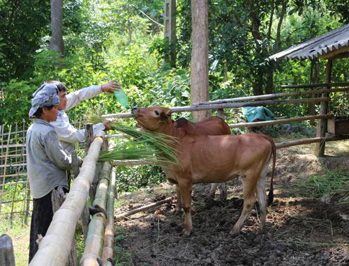 Ở nơi thâm sơn cùng cốc, chăn nuôi mà khấm khá với đàn bò 20 con - 1