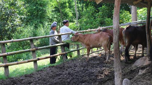 Ở nơi thâm sơn cùng cốc, chăn nuôi mà khấm khá với đàn bò 20 con - 2