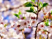 Du lịch - Ngẩn ngơ ngắm hoa anh đào Nhật Bản mong manh cuối mùa