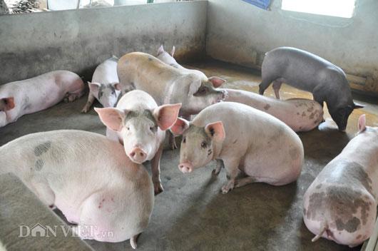 """Khủng hoảng lợn """"lây lan"""" đến cả bò thịt, trứng, sữa... - 2"""