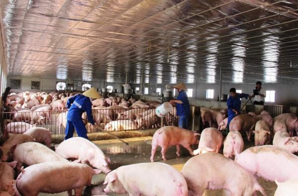 Lợn hơi tăng giá, tồn kho không còn nhiều - 1