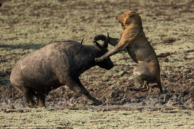 Trâu rừng liều mình quyết chiến lần cuối với sư tử - 2