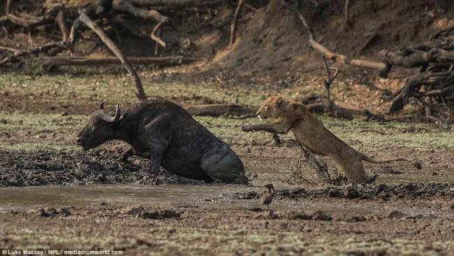 Trâu rừng liều mình quyết chiến lần cuối với sư tử - 1