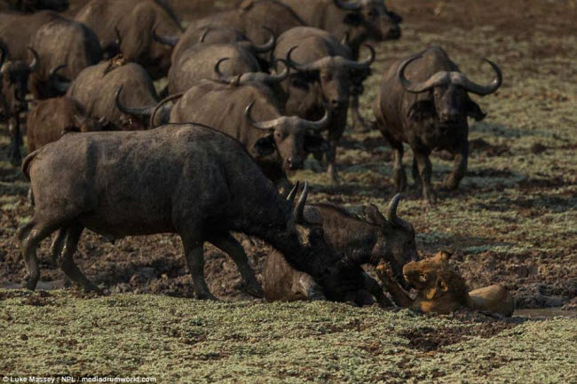 Trâu rừng liều mình quyết chiến lần cuối với sư tử - 4