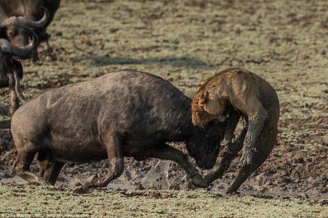 Trâu rừng liều mình quyết chiến lần cuối với sư tử - 3